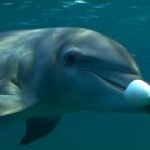 707485-dolphin