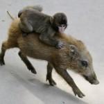 monkey-pig_1745110i