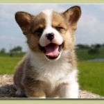 welsh-corgi-puppy