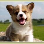 welsh-corgi-puppy