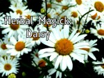 Herbal Magick: Daisy