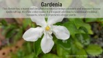 Herbal Magick: Gardenia