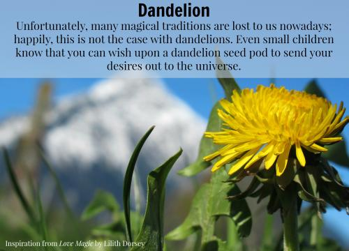 Dandelion photo courtesy of Love Magic. All rights reserved.