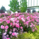 provo temple roses