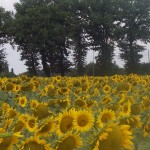 sunflowers cropped