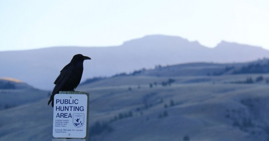 "By USFWS Mountain-Prairie (""And the Raven Still is Sitting ..."") [CC BY 2.0] Public Domain via Wikimedia Commons"