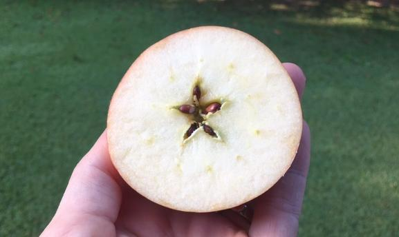 An Apple sliced transversely through the middle reveals the 5-pointed star made by the seeds. Photo by Heron Michelle