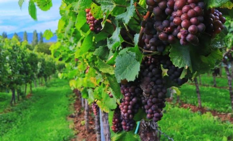 Autumn Harvest Field of Grapes