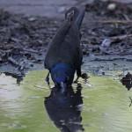birds blackbird1